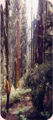 Picture Of Man Looking At The Redwood Trees